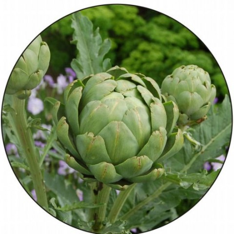 Артишок Зелёный глобус фото
