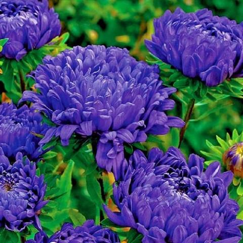 Астра Дюшес темно-синяя фото