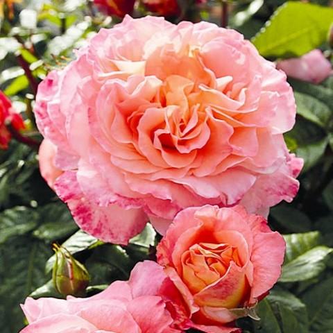 Роза Augusta Luise фото
