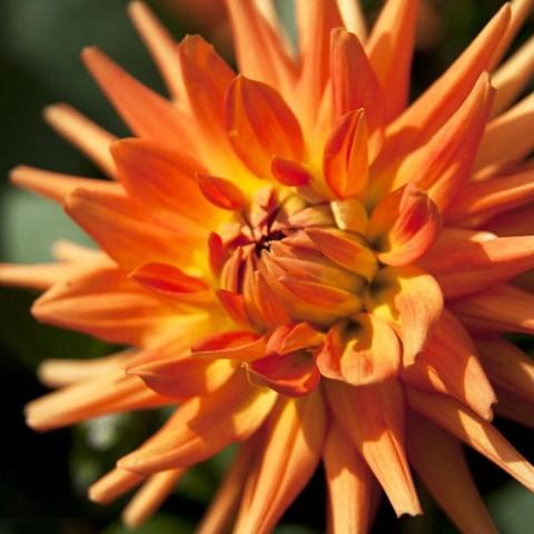 Георгина Autumn Sunburst фото