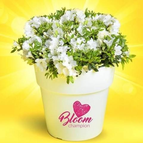 Азалия BloomChampion White фото