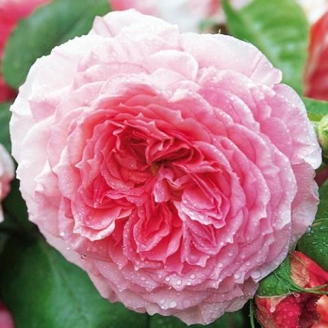 Роза James Galway (плетистая) фото