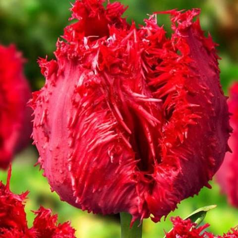 Тюльпан Barbados фото