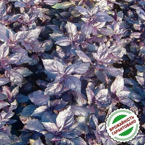 Базилик фиолетовый Рози фото