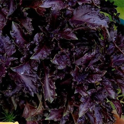 Базилик фиолетовый Гранат фото