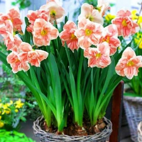 Нарцисс Apricot Whirl фото