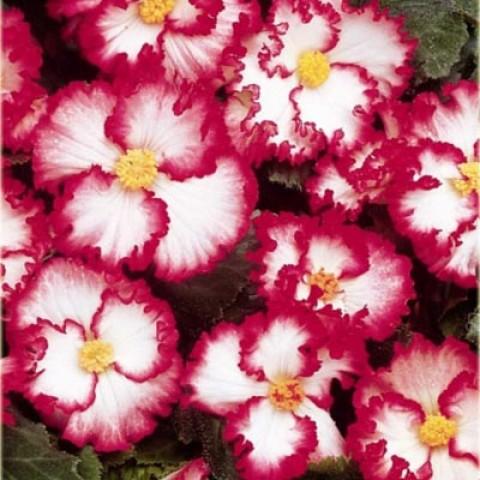 Бегония Crispa Marginata white-rose фото