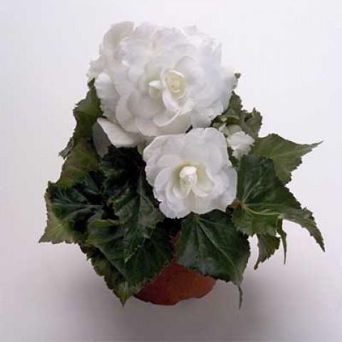Бегония Multiflora Maxima белая фото