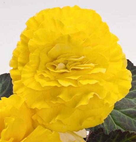 Бегония Non Stop Yellow фото