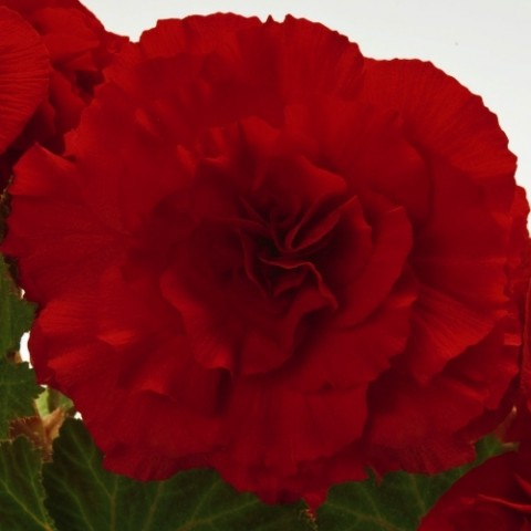 Бегония Non Stop Dark Red фото