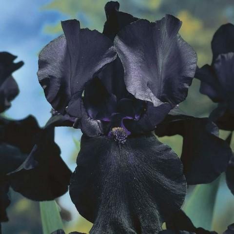 Ирис Black Dragon фото