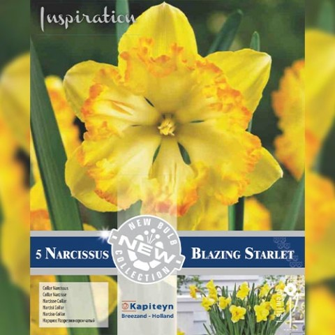 Нарцисс Blazing Starlet (Брендовые луковицы KAPITEYN®) фото