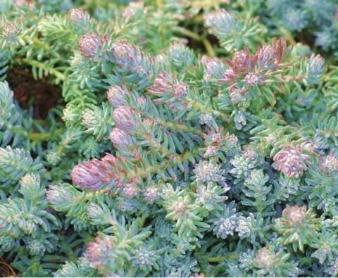 Седум Blue Spruce (рассада) фото