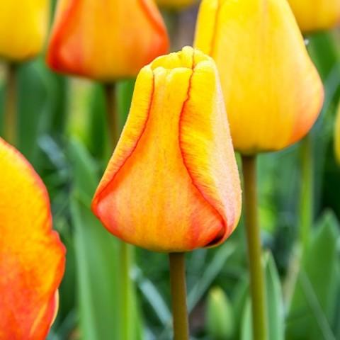 Тюльпан Blushing Apeldoorn фото