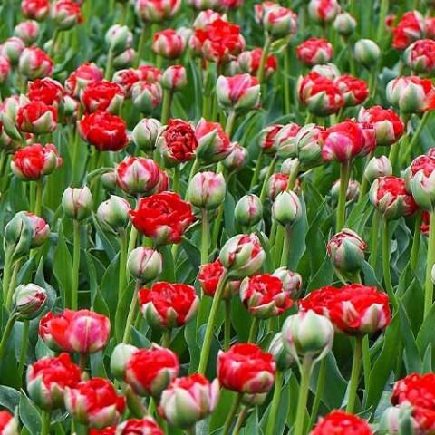 Тюльпан Bombastic Red фото