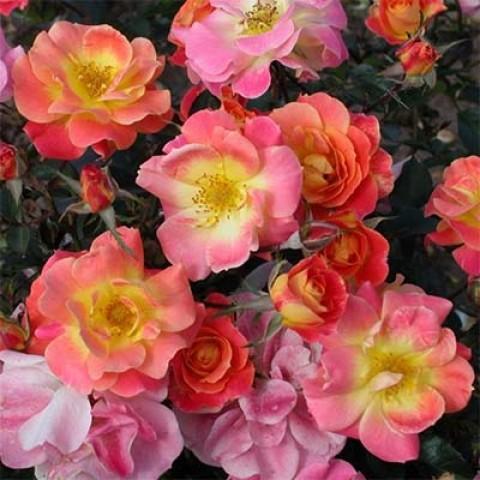 Роза Bordure Camaieu фото