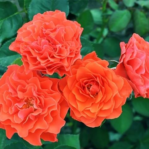 Роза Brand Pixie фото