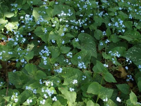 Бруннера Macrophylla фото