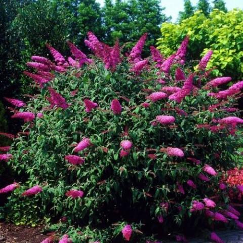 Буддлея Pink Delight фото