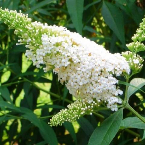 Буддлея White Bouquet фото