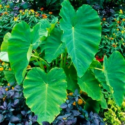 Колоказия Esculenta фото