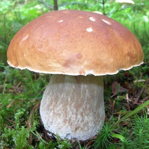 Мицелий белого гриба фото
