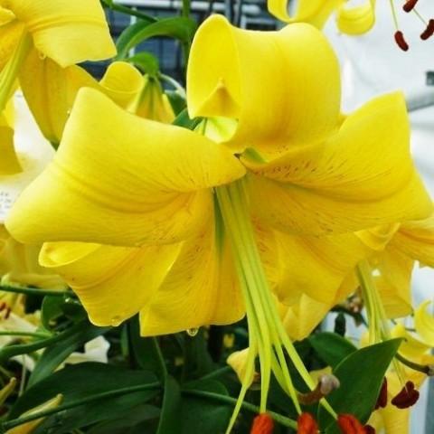 Лилия Yellow Space фото