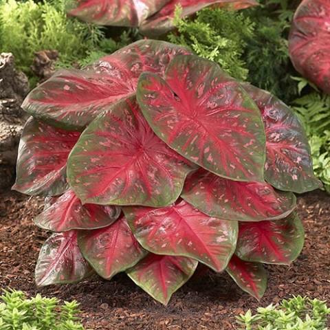 Каладиум Red Flash фото
