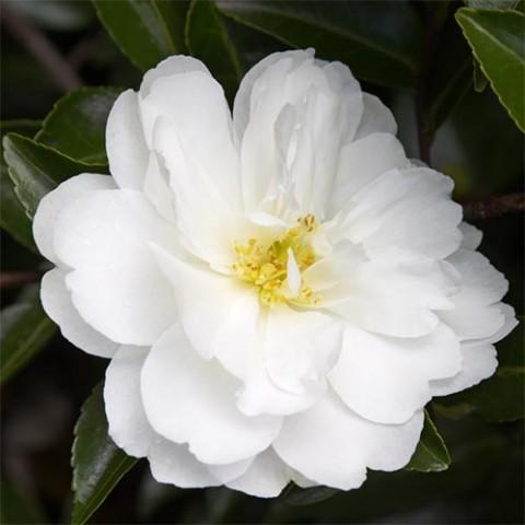 Камелия Белая фото