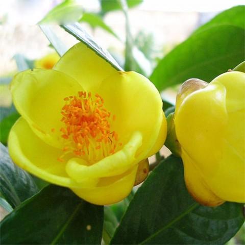 Камелия Желтая фото