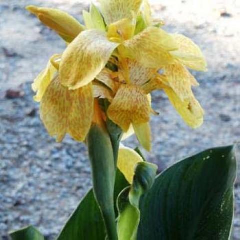 Канна Tropical Yellow (семена) фото