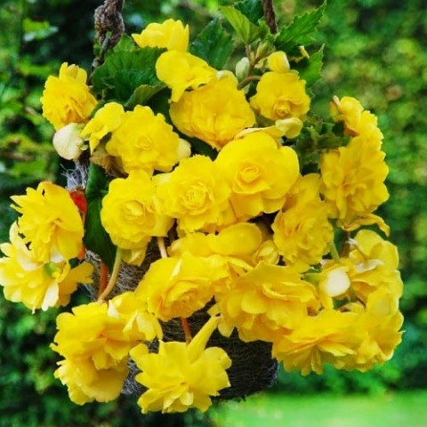Бегония Pendula Cascade Yellow фото