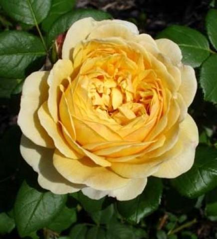 Роза Charles Darwin фото
