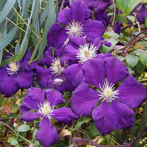 Клематис Blue Bella фото