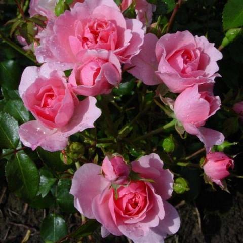 Роза Climbing Bonica фото