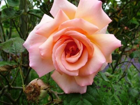 Роза Compassion фото