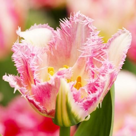Тюльпан Cool Crystal фото