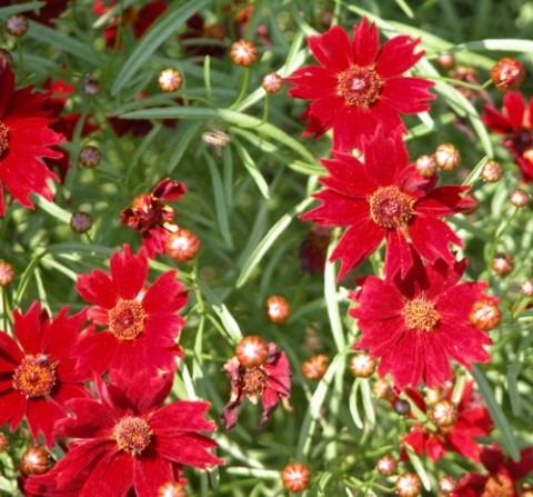 Кореопсис Ruby Red (рассада) фото