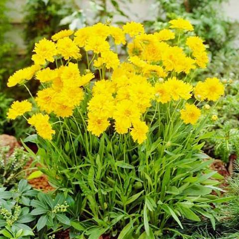 Кореопсис Grandiflora фото