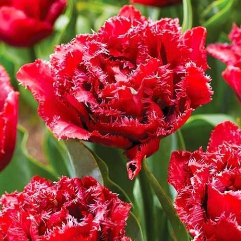 Тюльпан Cranberry Tristle фото