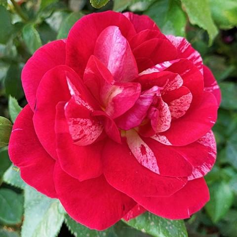Роза Crazy Maya фото
