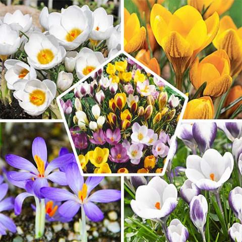 Крокус Ботанический Микс фото