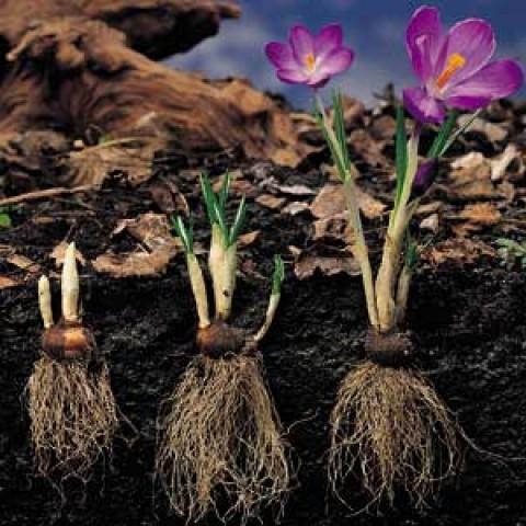 Крокус Крупноцветковый Микс 100 фото
