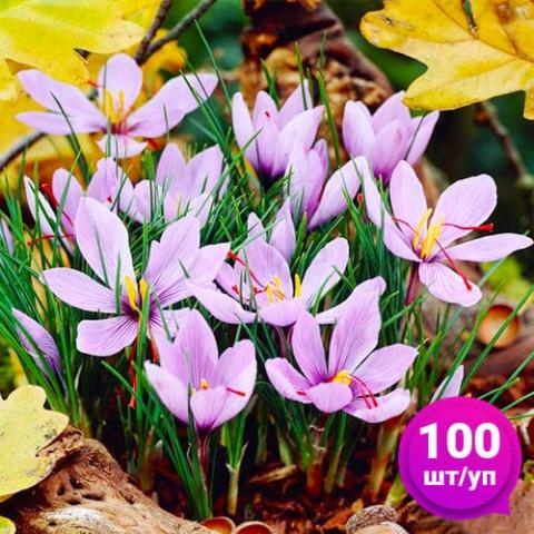 Крокус Sativus (Шафран) 100 шт/уп фото