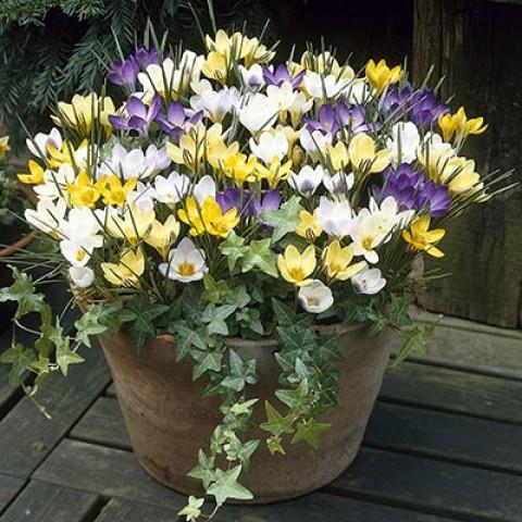 Крокус Ботанический Микс 100 фото
