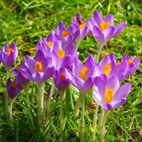 Крокус Barr's Purple 100 шт/уп фото