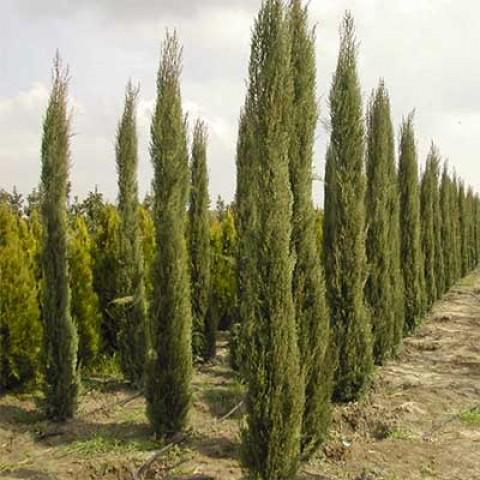 Кипарис вечнозеленый фото