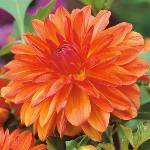 Георгина Berliner Orange фото