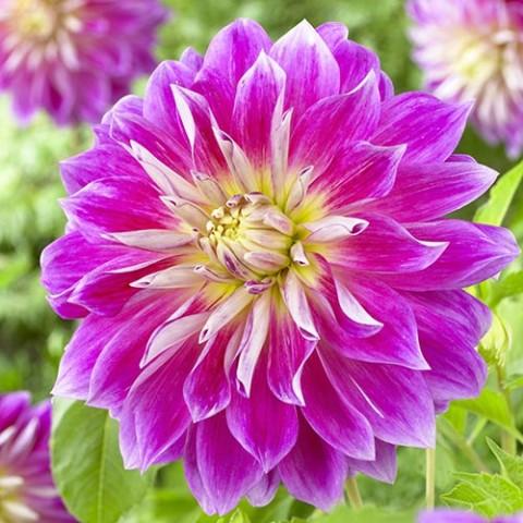 Георгина Purple Explosion фото