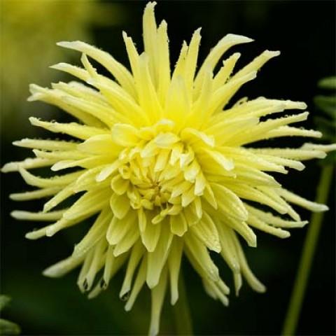 Георгина Yellow Star фото